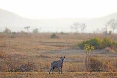 在日出的鬣狗 免版税库存图片