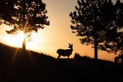 在日出的鹿 库存照片
