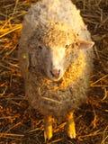 在日出的绵羊 免版税库存照片