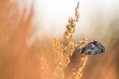 在日出的蝴蝶 库存照片