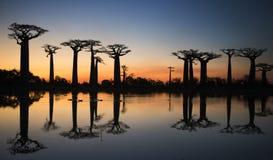 在日出的猴面包树在与反射的水附近 马达加斯加 免版税库存照片