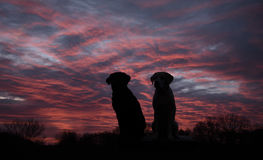在日出的Labradors 库存照片
