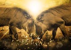 在日出的Warthogs 克鲁格公园 南非 免版税图库摄影