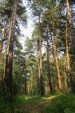 在日出足迹的具球果森林道路在森林 免版税库存照片