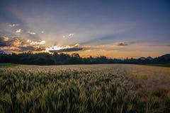 在日出麦子的域 图库摄影