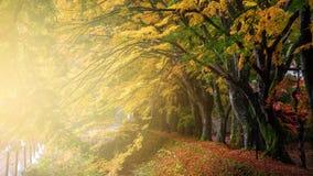 在日出, Kawaguchiko的Momiji或槭树隧道 免版税图库摄影