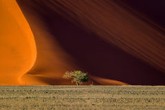 在日出, Sossusvlei的沙丘40和树 免版税库存图片