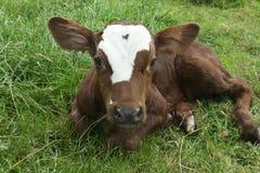 在日志农场的新出生的小牛 图库摄影