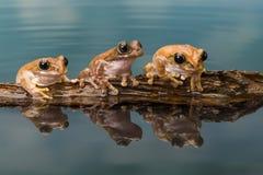 在日志的三只亚马逊牛奶青蛙 免版税库存图片