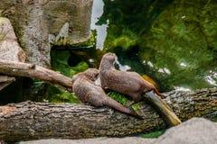 在日志的两只亚洲水獭 图库摄影