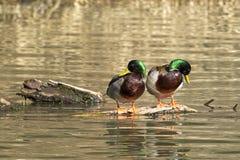 在日志的两只野鸭 免版税图库摄影