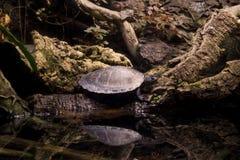 在日志的乌龟 图库摄影