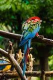 在日志的五颜六色的夫妇金刚鹦鹉,五颜六色本质上 免版税图库摄影