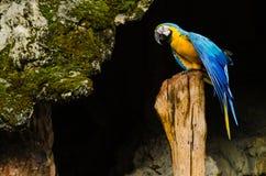 在日志的五颜六色的夫妇金刚鹦鹉,五颜六色本质上 免版税库存图片