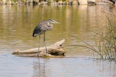 在日志的伟大蓝色的苍鹭的巢 免版税库存照片