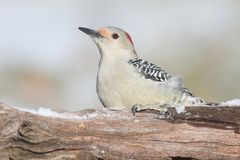 在日志的啄木鸟 库存照片