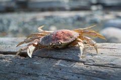 在日志的死的螃蟹 免版税库存图片