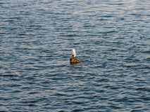 在日志的海鸥 免版税库存图片