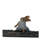 在日志的灰鼠跳舞 库存照片
