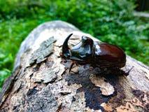 在日志的犀牛甲虫 免版税库存照片