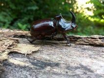 在日志的犀牛甲虫 免版税库存图片