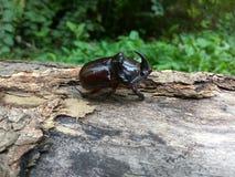 在日志的犀牛甲虫 免版税图库摄影