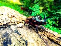 在日志的犀牛甲虫 库存图片