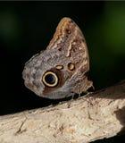 在日志的猫头鹰蝴蝶 免版税库存照片