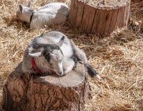 在日志的矮小山羊 免版税库存图片