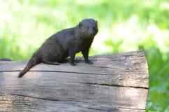 在日志的矮小的猫鼬 库存照片