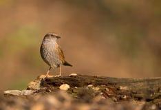 在日志的篱雀之类的鸟 库存照片