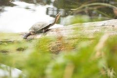 在日志的草龟 库存图片