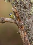 在日志的蓝冠山雀 免版税图库摄影