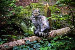 在日志的被集中的野猫 免版税库存照片