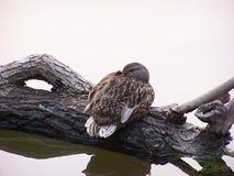 在日志的野鸭 图库摄影