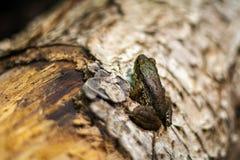 在日志的青蛙,关闭 免版税库存照片