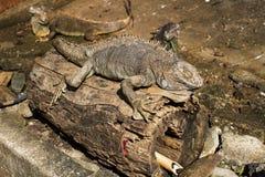 在日志的鬣鳞蜥 库存照片