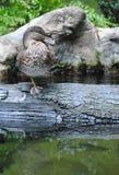 在日志的鸭子 免版税图库摄影