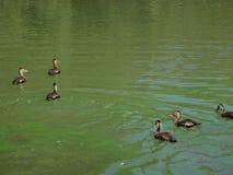 在日志的鸭子 免版税库存照片