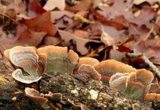 在日志的绿色和橙色镶边土耳其尾巴多孔菌 库存照片