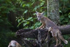 在日志的Fennec Fox 免版税库存照片