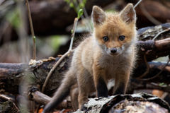 在日志的Fox Cub 免版税库存照片