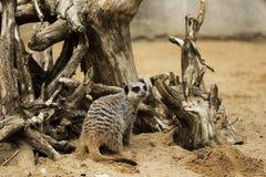 在日志的Meerkat 库存图片