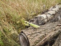 在日志金合欢的螳螂 看照相机的螳螂 螳螂昆虫掠食性动物 图库摄影