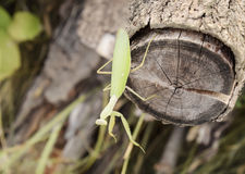在日志金合欢的螳螂 看照相机的螳螂 螳螂昆虫掠食性动物 库存图片