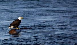 在日志,加拿大的老鹰 图库摄影