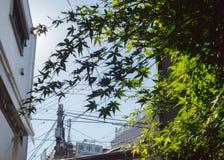 在日本、槭树和都市场面的天空蔚蓝和背后照明太阳 库存图片