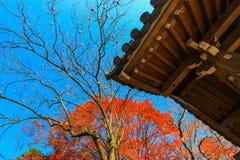 在日本寺庙旁边的红色树 库存照片