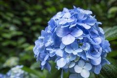 在日本寺庙的八仙花属在镰仓 库存照片