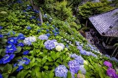 在日本寺庙的八仙花属在镰仓 免版税库存图片